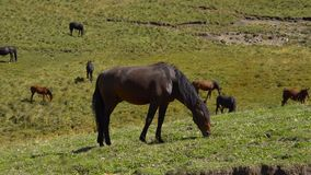 Horses graze on the slopes of the Caucasus mountains in Russia. UHD 4k stock footage
