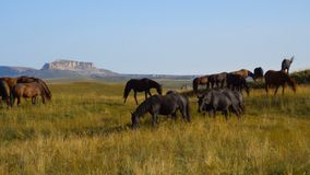 Horses graze on the slopes of the Caucasus mountains in Russia stock video footage
