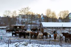 Horses graze on snow-covered farm in winter Ropsha. Horses graze on a snow-covered farm in winter. Artiodactyl animals of different colors, grazing on the winter Royalty Free Stock Photo