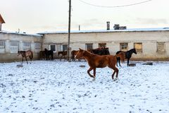Horses graze on snow-covered farm in winter Ropsha. Horses graze on a snow-covered farm in winter. Artiodactyl animals of different colors, grazing on the winter Stock Images