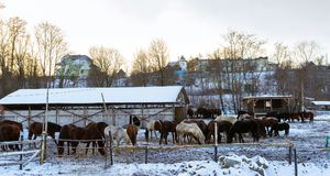 Horses graze on snow-covered farm in winter Ropsha. Horses graze on a snow-covered farm in winter. Artiodactyl animals of different colors, grazing on the winter Stock Photography