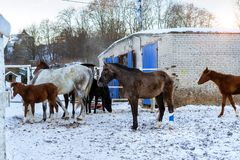 Horses graze on snow-covered farm in winter Ropsha. Horses graze on a snow-covered farm in winter. Artiodactyl animals of different colors, grazing on the winter Stock Photo