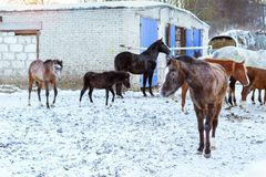 Horses graze on snow-covered farm in winter Ropsha. Horses graze on a snow-covered farm in winter. Artiodactyl animals of different colors, grazing on the winter Royalty Free Stock Photography