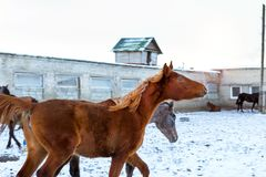 Horses graze on snow-covered farm in winter Ropsha. Horses graze on a snow-covered farm in winter. Artiodactyl animals of different colors, grazing on the winter Royalty Free Stock Images