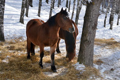 Horses graze in a snowy forest. Sunny day. Two brown horses in a snowy forest. Hay scattered on the ground Stock Photography