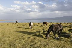 Horses graze at Song Kul lake in Kyrgyzstan. In the magic evening light Royalty Free Stock Photo