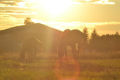 Horses graze. Two horses graze Royalty Free Stock Photo