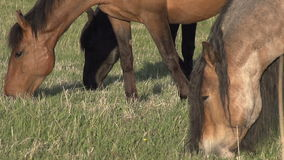 Horses Graze Young Grass stock video footage