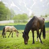 Horses are grazed Stock Image