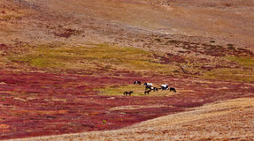 Horses are grazed in the distance of Colorful landscape in the the Altai mountain Stock Photo