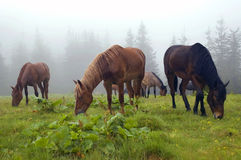 Horses are grazed in a fog Royalty Free Stock Photo