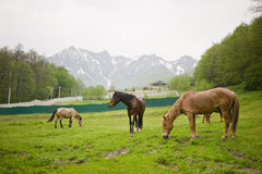 Horses are grazed on a green meadow Royalty Free Stock Photos