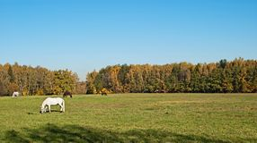 The horses grazed on a meadow Stock Image