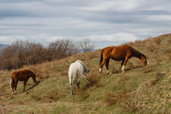 Horses grazed on a mountain slope Royalty Free Stock Photo