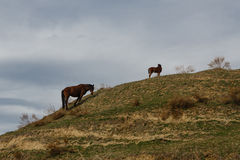 Horses grazed on a mountain slope Royalty Free Stock Image