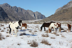 Horses are grazed on a snow glade among mountains Royalty Free Stock Image