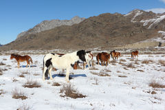 Horses are grazed on a snow glade among mountains Stock Photo