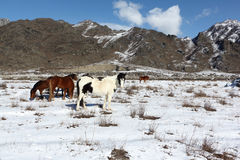 Horses are grazed on a snow glade among mountains Royalty Free Stock Photo