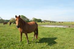 Horses grazes Stock Image