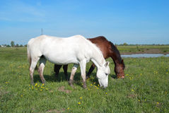 Horses grazes Stock Photography