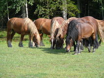 Horses grazing. Horses grazing on a meadow in Norway stock photography