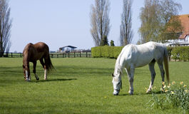 Horses grazing. Two horses grazing in a meadow in summer Stock Image