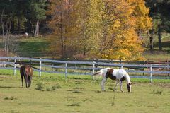 Horses Grazing. In Pasture in Autumn Royalty Free Stock Image