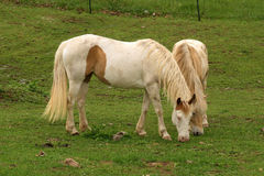 Horses Grazing. Two horses grazing in a green field stock photo