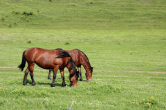 Horses grazing. On spring at the country-side Stock Photo