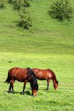 Horses grazing. Horse grazing on the bottom of a green grass hill Stock Photography
