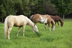 Horses grazing. Three horses standing in a row grazing in a field Stock Photo