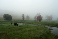 Horses Grazing. In a meadow on a foggy morning Stock Photos