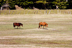 Horses grazing. Stock Images