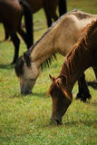The horses are grazing Stock Image