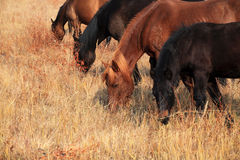 The horses are grazing. In autumn prairie Stock Photography