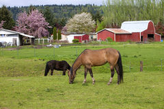 Horses grazing. Royalty Free Stock Photography