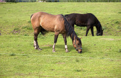 Horses grazing. Royalty Free Stock Images