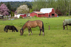 Horses grazing. Stock Photo