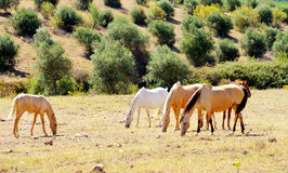 Horses grazing Stock Photography