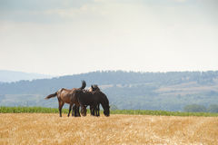Horses grazing. In a straw field Royalty Free Stock Images