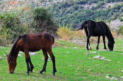 Horses Grazing. Two horses graze on the hills of Marcellina in Italy Royalty Free Stock Photo