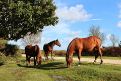 Horses grazing Stock Images
