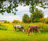 Horses grazing. Rural landscape with two horses grazing Stock Photos