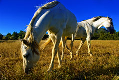 Horses grazing. Two horses grazing in the late afternoon royalty free stock photos