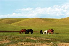 Horses Grazing. On spring grasses Royalty Free Stock Photography