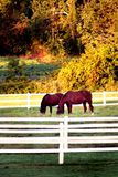 Horses Grazing. In a field Royalty Free Stock Images