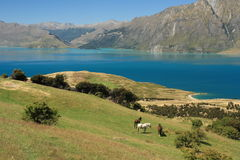 Horses grazing above lake Hawea Royalty Free Stock Photography