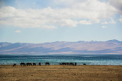 Horses are grazing along Song Kol lake. Beautiful Song Kol- Kirghistan mountains Stock Photography