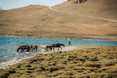 Horses are grazing along Song Kol lake. Beautiful Song Kol- Kirghistan mountains Royalty Free Stock Photography