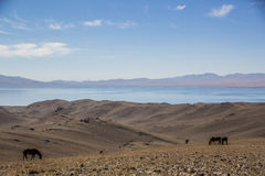 Horses are grazing along Song Kol lake. Beautiful Song Kol- Kirghistan mountains Stock Images
